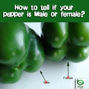 pepper-myth