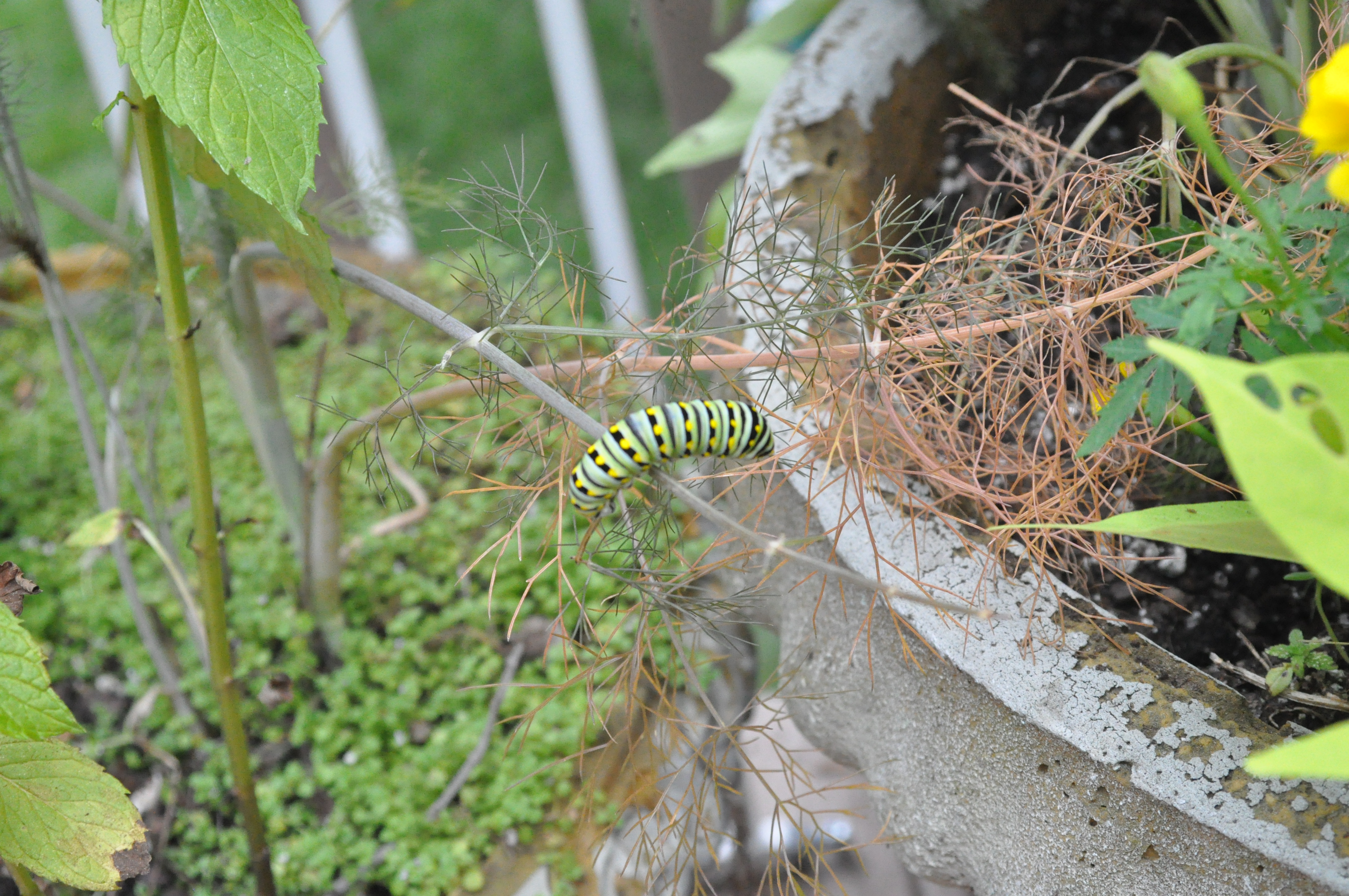 swallowtails durham extension master gardeners