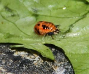ladybug pupa