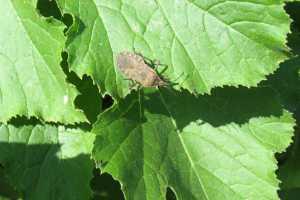 Squash_Bug1627