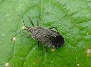 squashbugweb