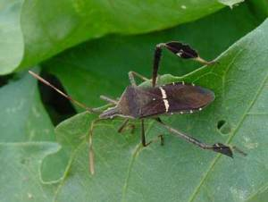 Leaf footed bug adult Photo: Debbie Roos, NC Cooperative Extension