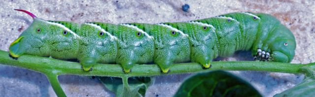 small tobacco hornworm