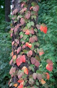 Poison Ivy in Autumn Photo: NCSU Extension