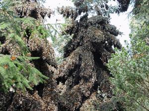 Monarchs overwintering in Mexico. Photo: Wikipedia