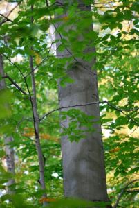 Smooth, light gray bark helps distinguish mature American beech from neighboring oak and hickory trees in the forest.