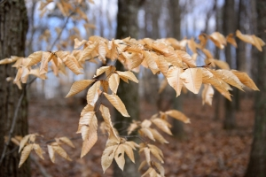 american-beech-tree-leaves-04012013-banshee-reeks-c-jim-clark_1
