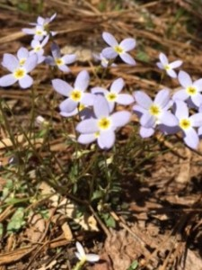 In the Piedmont, Houstonia caerulea blooms more sparsely than it would in the cooler mountains.