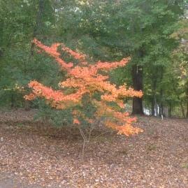 autumn crape