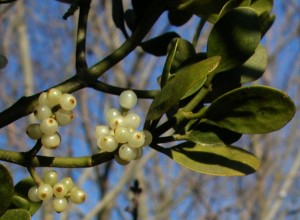 mistletoe-berries2-300x220