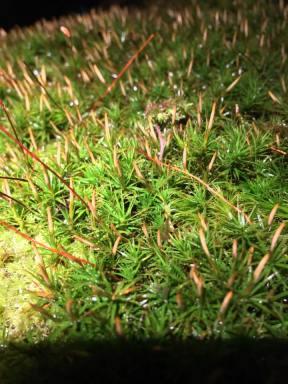 eflandmosssporophytes