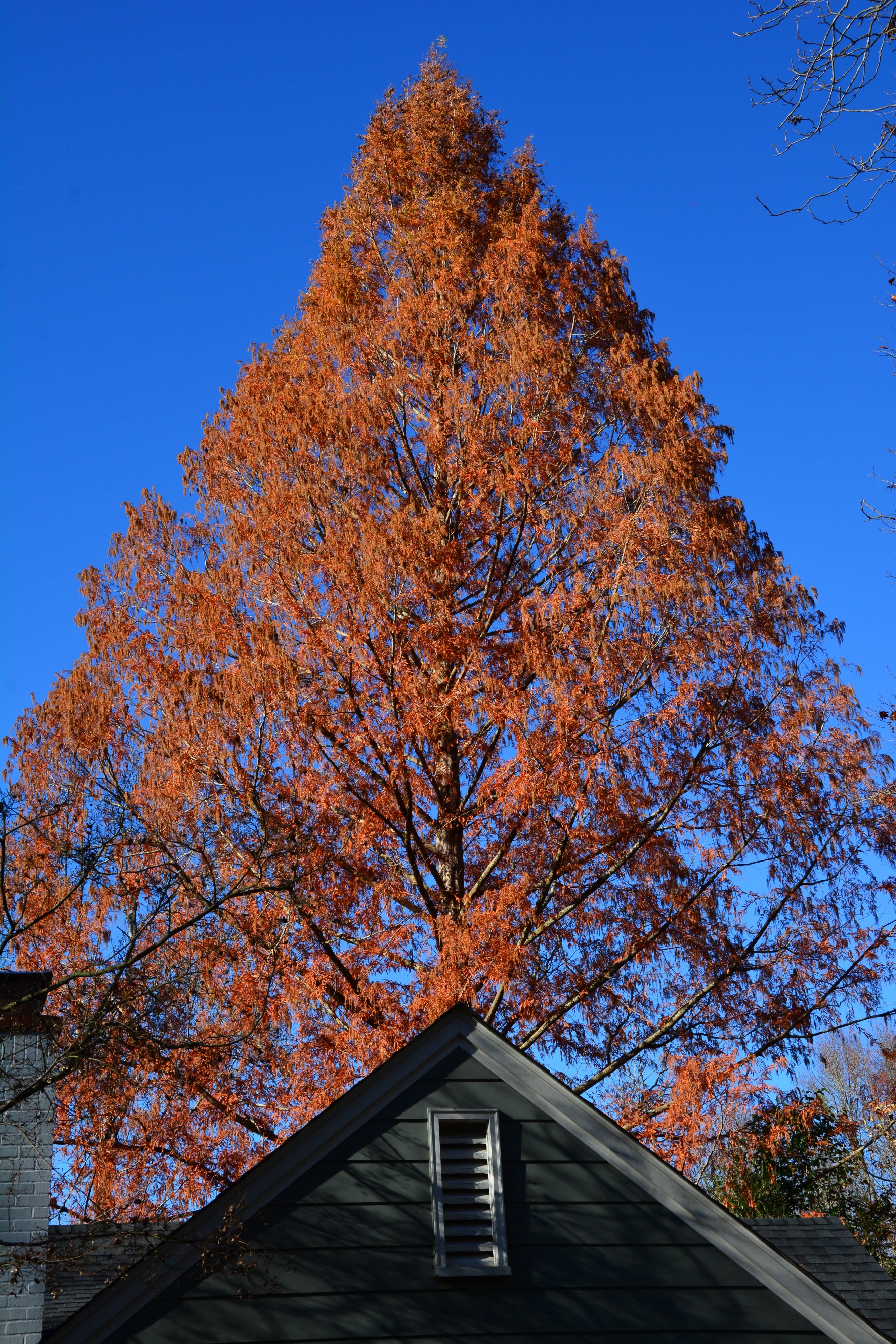 biography of durham u2019s finest tree  no  5  cranford road