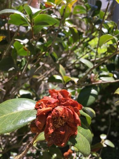 camellia blight