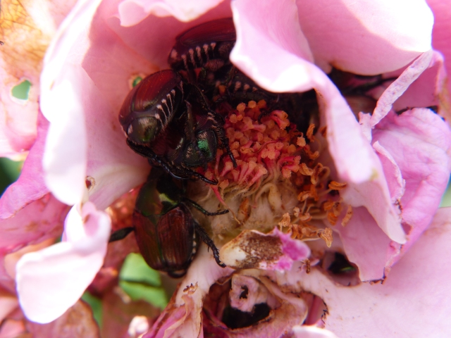 Beetles in every corner of beat up rose