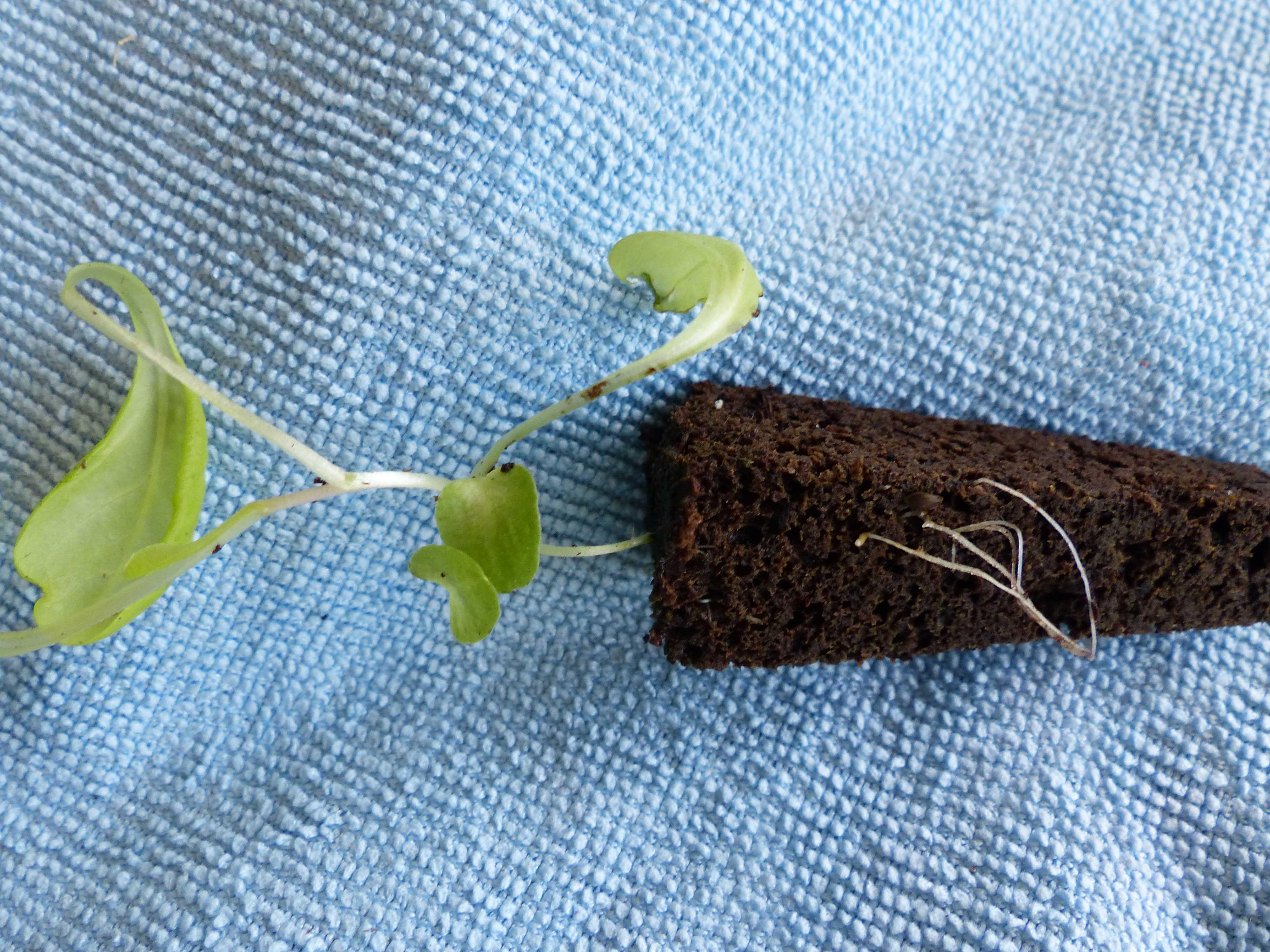 Roots-through-sponge
