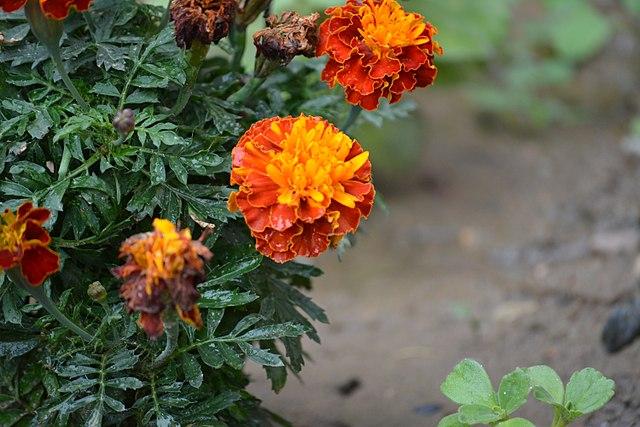 640px-Marigold_Flower
