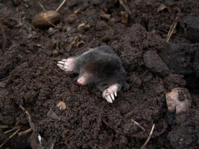 get-rid-of-moles