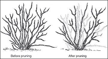 BeforeAfterBlue Pruning