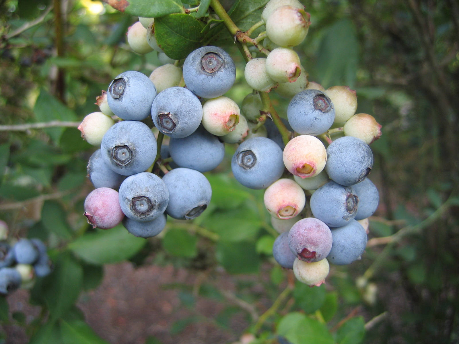 Powder blue fruit