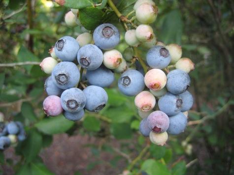 Powder blue fruit