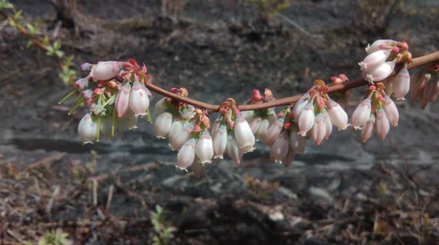 Tifblue flowers