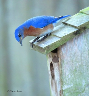 bluebird and box