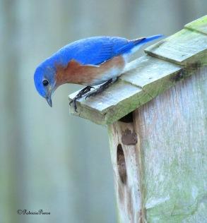 bluebird and box