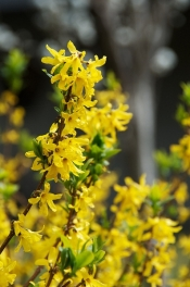 Forsythia-viridissima---houroumono--CC-BY_d4qC3wy