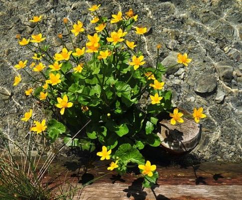 MarshMarigold